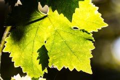 Sidor av druvan i wineyard Royaltyfria Bilder