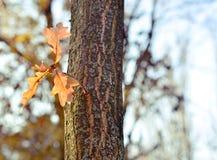 Sidor av eken i natur Royaltyfri Fotografi