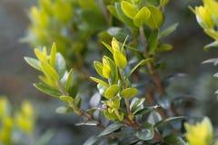 Sidor av en gemensam myrten, communis Myrtus royaltyfria bilder