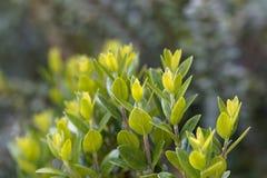Sidor av en gemensam myrten, communis Myrtus fotografering för bildbyråer