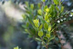 Sidor av en gemensam myrten, communis Myrtus royaltyfri fotografi