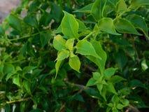 Sidor av en grön växt Royaltyfria Bilder
