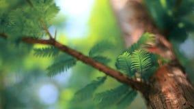 Sidor av en redwoodträdmetasequoia Royaltyfri Fotografi