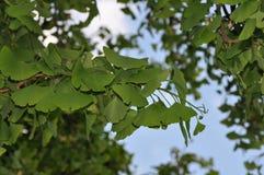 Sidor av ett ginkgoträd (ginkgobilobaen) Arkivfoto