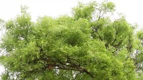 Sidor av ett Neem träd efter ett kallt regn som kopplar av hd med fåglar, låter från Indien lager videofilmer