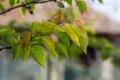 Sidor av ett persikaträd royaltyfri foto