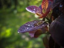 Sidor av ` för kungliga lilor för Cotinuscoggygria` är en perfekt modell för regndropparna royaltyfria foton