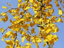 Sidor av Ginkgoträdet i höst royaltyfri foto