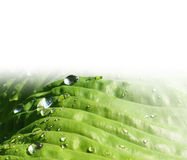 Sidor av hostaen - grön bakgrund Royaltyfria Bilder