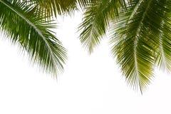 Sidor av kokospalmen som isoleras på vit bakgrund, snabbt PA Royaltyfri Foto
