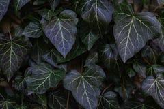 Sidor av murgrönan täcker det trädgårds- staketet Bekläda beskådar Arkivfoton