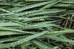 Sidor av pingstliljan Royaltyfri Bild