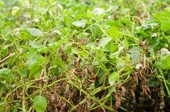 Sidor av potatisen med sjukdomar Växt av den potatis slågna phytophthoraen Phytophthora Infestans i fältet close upp Grönsaker arkivfoto