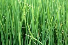 Sidor av ris Fotografering för Bildbyråer