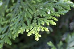 Sidor av västra redcedar ( Thuja plicata) träd arkivfoto