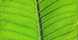 Sidor av växten Fotografering för Bildbyråer