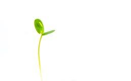 Sidor av växter spirar på vit bakgrund, abstrakt blad Arkivfoto