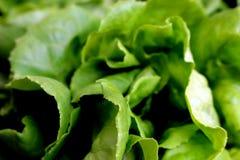 Sidor för Butterhead grönsallat arkivbilder