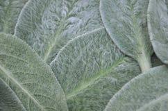 Sidor för byzantina för Stachys för trädgårds- växt för öron för ` s för makrobildlamm sänker perenna den lekmanna- närbilden för royaltyfri bild