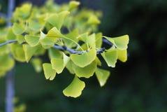Sidor för Ginko bilobaträd Royaltyfri Fotografi