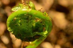 Sidor för gräsplan för ormbunkevårtillväxt först från kokong Fotografering för Bildbyråer