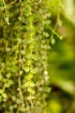 Sidor för grön växt i en trädgård, i Central Park av Bangkok-2 Fotografering för Bildbyråer