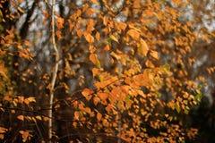 Sidor för gul björk i solljus Royaltyfri Bild