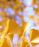 Sidor för guling för Defocused nedgångginkgoträd guld- på vinden Royaltyfri Fotografi