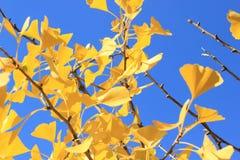 Sidor för guling för nedgångginkgoträd guld- på bakgrund för blå himmel Arkivbilder