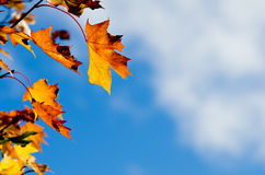 Sidor för höstlönnträd mot himmel Arkivfoto