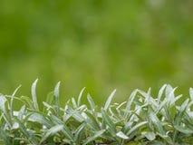 Sidor för havsbuckthorn Royaltyfria Foton