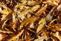 Sidor för kastanjebrunt träd royaltyfri bild