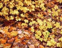 Sidor för lövverk Autumn Leaves, guld- och bruna, säsongsbetonad varm bakgrund, naturmodell royaltyfria foton