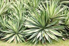 Sidor för sisalhampa- eller Agavesisalanagräsplan i en trädgård arkivbild