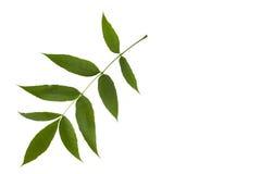 Sidor för träd för grön aska som isoleras på vit bakgrund Royaltyfria Foton