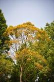 Sidor gulnar trädfärgändring Arkivfoto