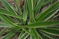 Sidor i trädgården, ny gräsplan lämnar bakgrund i det trädgårds- solljuset Textur av gröna sidor, ormbunkeblad i Forest Garden a Fotografering för Bildbyråer