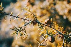 Sidor och frukter av juniperusoxycedrusen i natur fotografering för bildbyråer