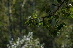 Sidor på en trädfilial och en mjuk bakgrund Royaltyfri Foto