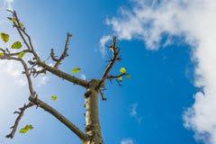 Sidor som faller från ett beskurit fruktträd i solljus royaltyfri foto