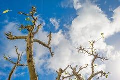 Sidor som faller från ett beskurit fruktträd i solljus arkivbilder