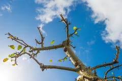 Sidor som faller från ett beskurit fruktträd i solljus royaltyfri bild