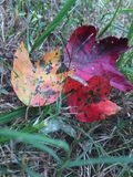 Sidor ut för gul gräsplan för nedgång spricker röda färgändring Arkivbilder