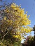 Sidorna av den högväxta mullbärsträdet är guld- guling Arkivfoton