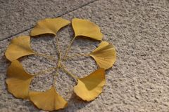 Sidorna av det spridda ginkgoträdet Arkivfoto