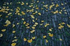 Sidorna av ginkgoträdet driver ner Arkivfoto