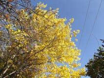 Sidorna av mullbärsträdet har vänt guld- guling Arkivbilder