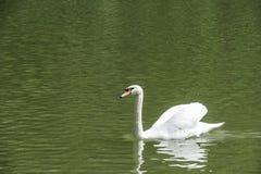 Sidosikt av att simma den eleganta vita svanen Fotografering för Bildbyråer