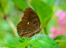 Sidosikt av den bruna fjärilen som hänger på det gröna bladet Arkivbilder