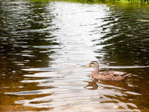 Sidosikt av den bruna gräsandet i flodvattnet royaltyfri fotografi